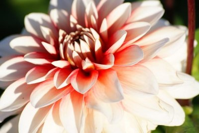 Dahlia Larry's Love - biologische bloembol