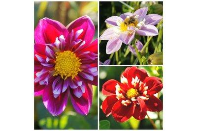 Dahlia Bijentas 3 stuks - biologische bloembollen
