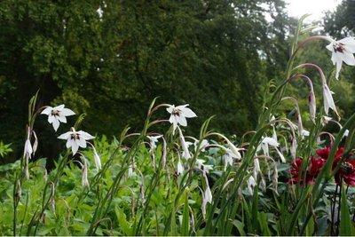 Acidanthera - biologische bloembollen