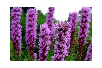 Liatris Spicata - paars - 10 stuks - biologische bloembollen