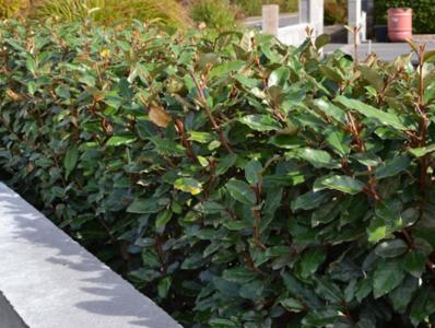 Elaeagnus ebbingei compacta