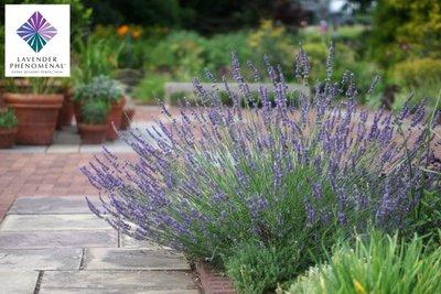 Lavandula intermedia Phenomenal - lavendel - Extra sterk/bloei