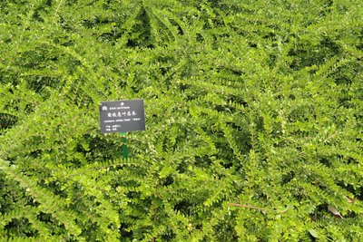 Lonicera nitida maigrün Chinese kamperfoelie