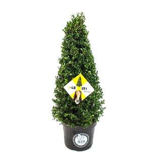 Ilex crenata Dark green piramide 30/+ cm