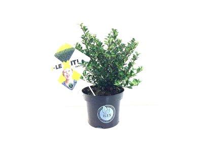 Ilex crenata Dark green 15-20 cm