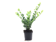 Ilex crenata green hedge P9