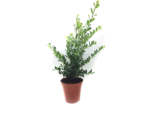 Ilex crenata green hedge 30-40 cm