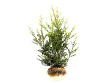 Ilex crenata green hedge kluit
